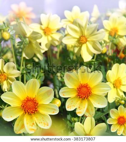 yellow flowers in the garden - stock photo