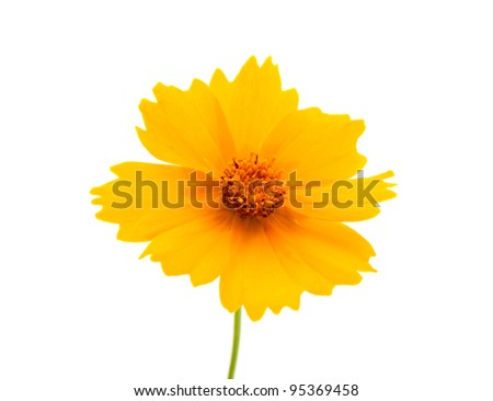 yellow flowers isolated on white background - stock photo