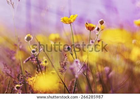 Yellow flowers lit by sun rays (springtime) 8springtime) - stock photo