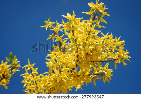 Yellow flowers of forsythia against the blue sky. Spring, april - stock photo