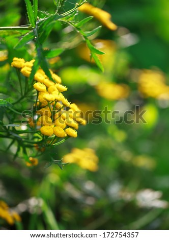 yellow flowers of Helichrysum arenarium, selective focus, place for text - stock photo