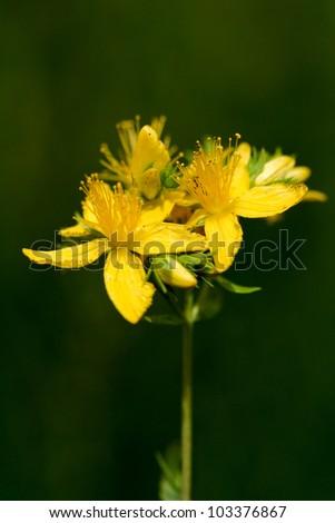 yellow flowers of hypericum perforatum, St. john's worth - stock photo