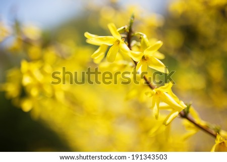 Yellow flowers on a tree branch - stock photo