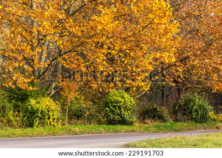 yellow foliage trees  near asphalt road  - stock photo