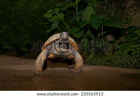 Yellow Footed Amazon Tortoise, Geochelone denticulata, over green background - stock photo