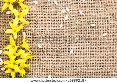 Yellow forsythia flower on a vintage jute sack background useful as background and greeting card - stock photo
