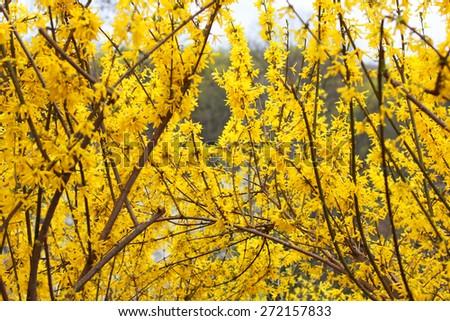 Yellow Forsythia for a background - stock photo