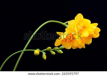 yellow freesia flowers isolated on black - stock photo