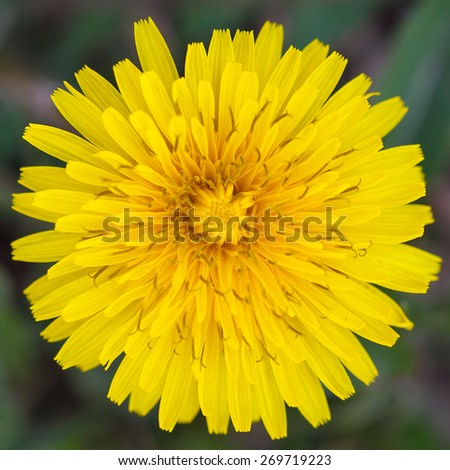 Yellow, fresh dandelion flower in spring. - stock photo