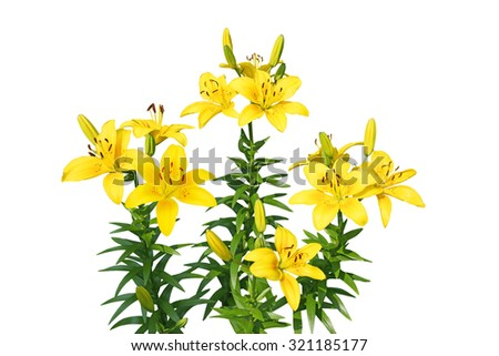 Yellow fresh lily flower plant isolated on white background - stock photo
