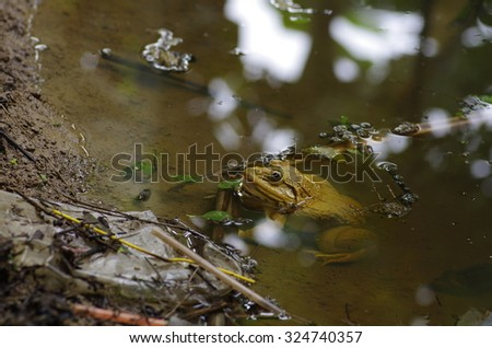yellow frog in natural pond - stock photo