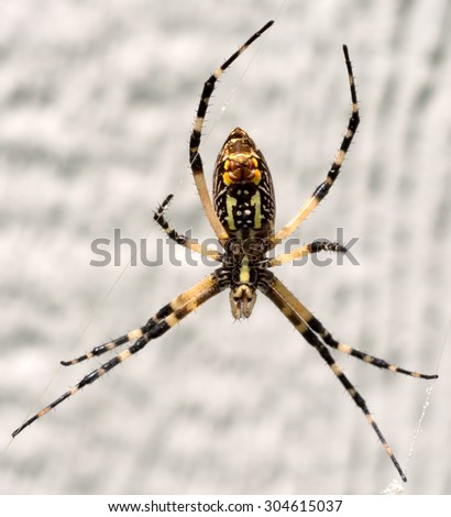 Yellow garden spider (argiope aurantia), seen from the bottom side on a web.  - stock photo