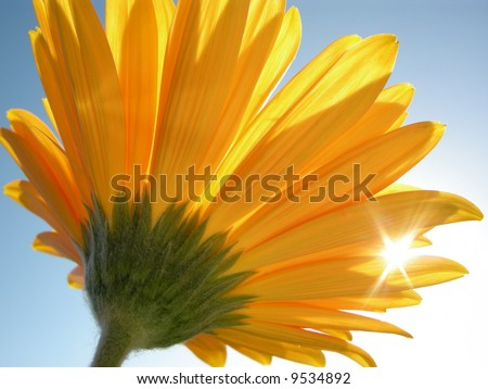 Yellow gerber against blue sky - stock photo