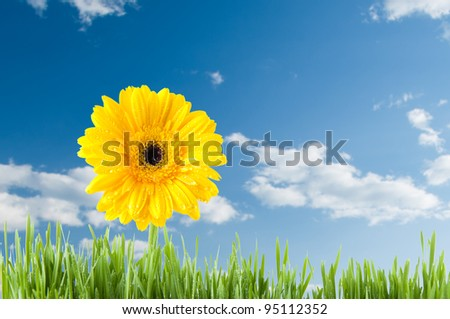 Yellow Gerbera and green grass over blue sky - stock photo