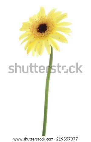 Yellow gerbera daisy isolated on white background - stock photo