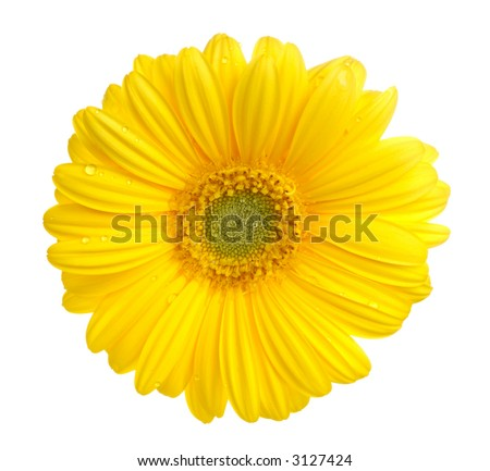 Yellow gerbera (daisy). Picture was made in a studio. - stock photo