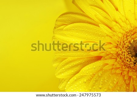 yellow gerbera flower close up background - stock photo