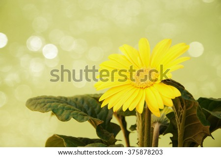 Yellow Gerbera Flower with green petals  - stock photo