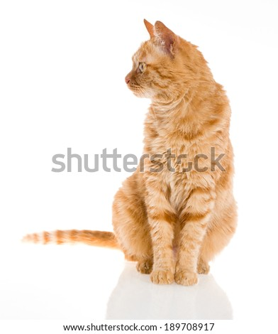 yellow ginger tiger cat pet isolated  - stock photo