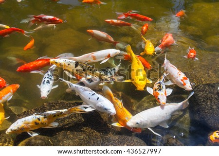 Ornamental carp stock photos images pictures for Ornamental pond fish golden