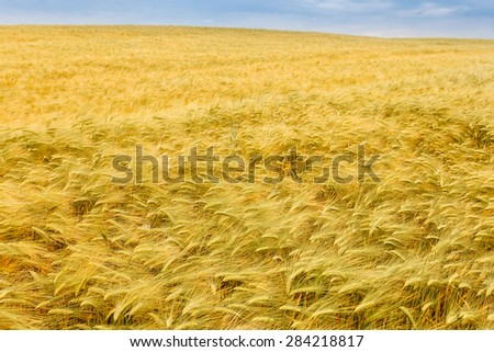 Yellow grain close-up ready for harvest growing in a farm field. Crimea. Russia. Ukraine - stock photo