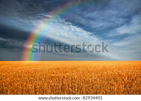 Yellow grain ready for harvest growing in a farm field. The storm sky. Rainbow. - stock photo