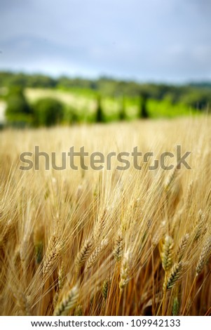 Yellow grain ready for harvest growing in a Tuscany  farm field - stock photo