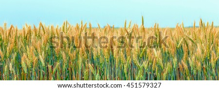 yellow grain wheat ready for harvest growing in a farm field.  Golden wheat ears close-up. A fresh crop of rye. season harvest concept. Rural landscape, used as background - stock photo