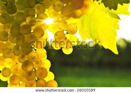 Yellow grapes growing on vine in bright sunshine - stock photo