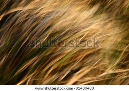 yellow grass in the wind - stock photo