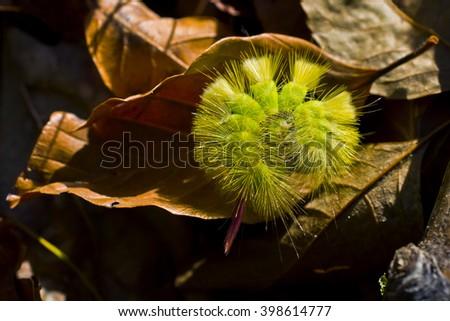yellow-green caterpillar in dry beech tree leaves - stock photo