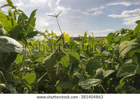 Yellow green soy field plantation at summer day- Farm  - stock photo