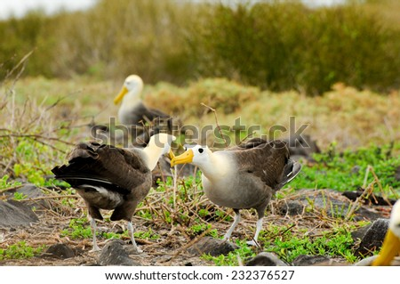 yellow headed waved albatross native to the galapagos islands - stock photo