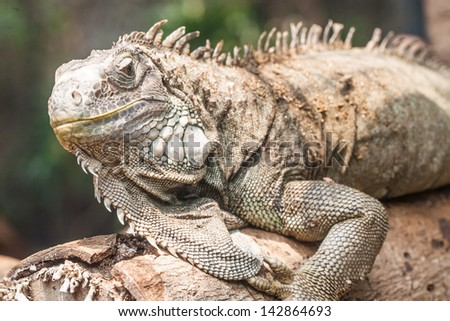Yellow iguana sitting on the tree - stock photo