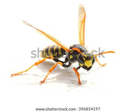 Yellow Jacket Wasp on white background. Close up with shallow DOF. - stock photo