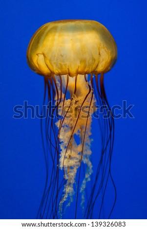 Yellow jellyfish on dark blue background - stock photo