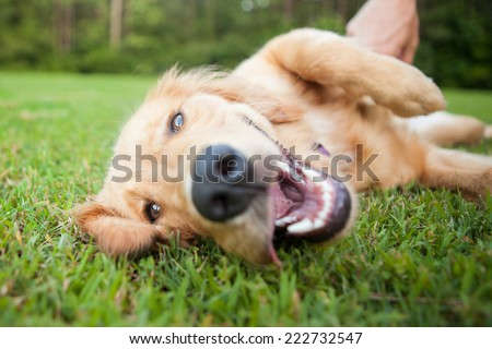 Yellow lab rolls over outside - stock photo