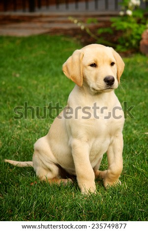 yellow labrador puppy - stock photo
