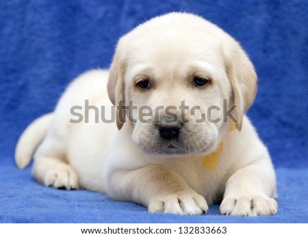 yellow labrador puppy on the blue background sleeping - stock photo