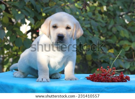 yellow labrador puppy sitting on blue background with guelder-rose (snowball tree) - stock photo
