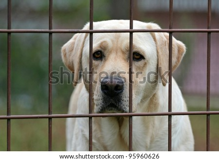Yellow labrador retriever behind fence - stock photo