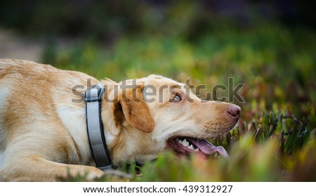 Yellow Labrador Retriever dog crouched down in field of ice plant - stock photo