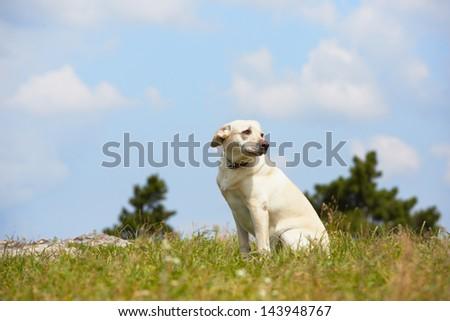 Yellow labrador retriever in summer landscape - stock photo