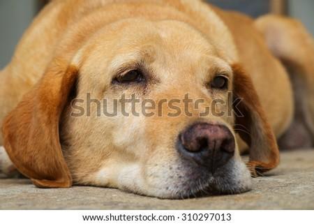 Yellow labrador retriever is lying in outdoor - selective focus - stock photo