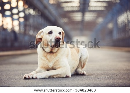 Yellow labrador retriever is waiting on the old bridge - stock photo