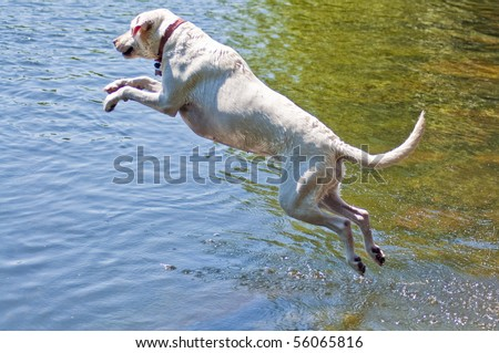 Yellow Labrador Retriever jumping into the water at a dog park. - stock photo