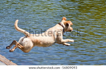 Yellow Labrador Retriever jumping into the water at a dog park on a sunny summer day. - stock photo