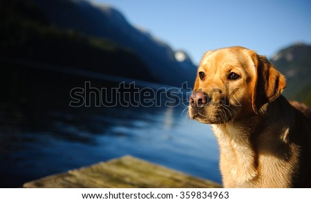 Yellow Labrador Retriever on dock with mountain background - stock photo