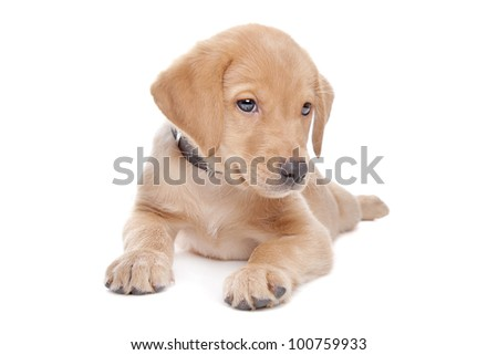 yellow Labrador retriever puppy in front of a white background - stock photo