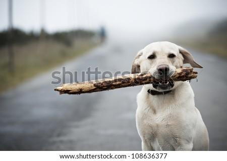 Yellow labrador retriever with stick - stock photo